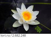 Купить «Водяная лилия», фото № 2682248, снято 23 июля 2011 г. (c) Елена Гордеева / Фотобанк Лори