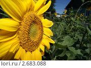 Подсолнух. Стоковое фото, фотограф Алексей Смелков / Фотобанк Лори