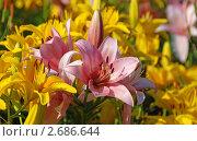 Купить «Розовые и желтые лилии», эксклюзивное фото № 2686644, снято 10 июля 2011 г. (c) lana1501 / Фотобанк Лори