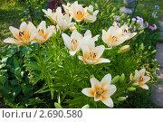 Купить «Цветущие лилии», фото № 2690580, снято 13 июля 2011 г. (c) Gagara / Фотобанк Лори