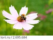 Шмель опыляет цветок. Стоковое фото, фотограф Дмитрий Антонов / Фотобанк Лори