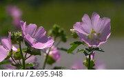Пчела на полевом цветке. Стоковое видео, видеограф Игорь Тирский / Фотобанк Лори