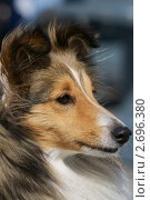 Купить «Портрет шелти», фото № 2696380, снято 15 июля 2011 г. (c) Валерия Попова / Фотобанк Лори