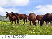Купить «Стадо лошадей на горном пастбище», фото № 2700364, снято 17 июля 2011 г. (c) Яков Филимонов / Фотобанк Лори
