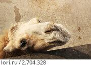 Любопытный верблюд. Стоковое фото, фотограф Клепова Светлана / Фотобанк Лори