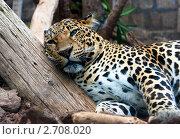 Леопард. Стоковое фото, фотограф Алена Романова / Фотобанк Лори