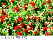 Купить «Скабиоза красная», фото № 2708772, снято 22 июля 2011 г. (c) Хайрятдинов Ринат / Фотобанк Лори