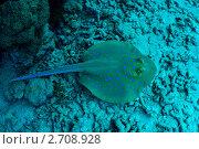 Купить «Коралловый риф и пятнистый скат», фото № 2708928, снято 22 июля 2009 г. (c) bashta / Фотобанк Лори