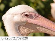 Купить «Розовый пеликан (Pelecanus onocrotalus)», фото № 2709020, снято 12 июля 2011 г. (c) Алёшина Оксана / Фотобанк Лори