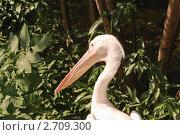 Купить «Розовый пеликан (Pelecanus onocrotalus)», фото № 2709300, снято 12 июля 2011 г. (c) Алёшина Оксана / Фотобанк Лори