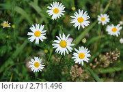 Купить «Ромашка лекарственная (Matricaria Chamomilla )», эксклюзивное фото № 2711496, снято 27 июня 2011 г. (c) lana1501 / Фотобанк Лори
