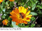 Музыкантик на цветке календулы. Стоковое фото, фотограф Анна Мишина / Фотобанк Лори