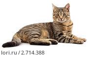 Купить «Лежащий полосатый кот», фото № 2714388, снято 12 августа 2011 г. (c) Потапов Денис / Фотобанк Лори