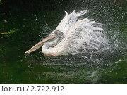 Купить «Кудрявый пеликан (Pelecanus crispus) встряхивается», фото № 2722912, снято 12 июля 2011 г. (c) Алёшина Оксана / Фотобанк Лори