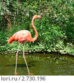 Купить «Фламинго (Phoenicopterus)», фото № 2730196, снято 12 июля 2011 г. (c) Алёшина Оксана / Фотобанк Лори