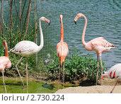 Купить «Фламинго (Phoenicopterus)», фото № 2730224, снято 12 июля 2011 г. (c) Алёшина Оксана / Фотобанк Лори