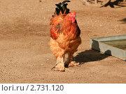 Купить «Петух на скотном дворе. Брама палевая», фото № 2731120, снято 12 июля 2011 г. (c) Алёшина Оксана / Фотобанк Лори