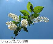 Купить «Цветущая черемуха на фоне голубого неба», фото № 2735888, снято 1 июня 2011 г. (c) Заноза-Ру / Фотобанк Лори