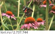 Купить «Бабочка адмирал (Vanessa atalanta) собирает нектар с цветка циннии», видеоролик № 2737744, снято 19 декабря 2010 г. (c) Андрей Некрасов / Фотобанк Лори