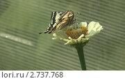 Купить «Бабочка махаон крупным планом на цветке», видеоролик № 2737768, снято 19 декабря 2010 г. (c) Андрей Некрасов / Фотобанк Лори