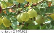 Купить «Куст крыжовника с ягодами», видеоролик № 2740628, снято 6 июля 2010 г. (c) Андрей Некрасов / Фотобанк Лори