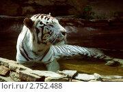 Тигр. Стоковое фото, фотограф Яна Матвеева / Фотобанк Лори
