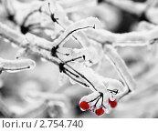 Купить «Замёрзшие ягоды рябины», фото № 2754740, снято 28 декабря 2010 г. (c) Liseykina / Фотобанк Лори