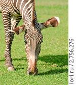 Купить «Зебра Греви (Equus grevyi)», фото № 2756276, снято 12 июля 2011 г. (c) Алёшина Оксана / Фотобанк Лори