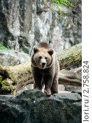 Купить «Бурая медведица смотрит со скалы», фото № 2758824, снято 25 августа 2011 г. (c) Ольга Липунова / Фотобанк Лори
