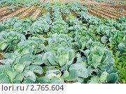 Купить «Поле капусты», эксклюзивное фото № 2765604, снято 22 августа 2011 г. (c) Александр Щепин / Фотобанк Лори