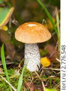 Подосиновик, фото № 2776548, снято 2 сентября 2011 г. (c) Argument / Фотобанк Лори