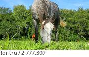 Купить «Серая лошадь пасется на лугу», видеоролик № 2777300, снято 5 сентября 2011 г. (c) Александр Коваленко / Фотобанк Лори