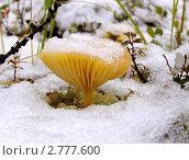 Стойкий гриб. Стоковое фото, фотограф Александр Родькин / Фотобанк Лори