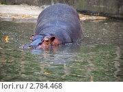 Купить «Гиппопотам погружается в воду», фото № 2784468, снято 25 августа 2011 г. (c) Ольга Липунова / Фотобанк Лори