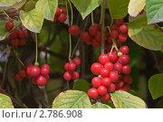 Лимонник дальневосточный. Созревшие ягоды. Стоковое фото, фотограф Екатерина Жукова / Фотобанк Лори