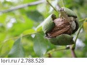 Грецкий орех на зеленом фоне. Стоковое фото, фотограф Ольга Хлудова / Фотобанк Лори