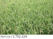 Рисовое поле. Стоковое фото, фотограф Аблаева Виктория / Фотобанк Лори