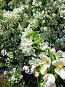 Цветы яблони, фото № 2799388, снято 27 мая 2011 г. (c) Евгений Ткачёв / Фотобанк Лори
