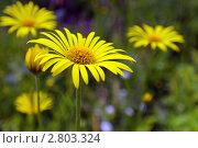 Желтые цветы. Стоковое фото, фотограф Нелинов Сергей / Фотобанк Лори