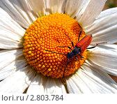 Купить «Жук-пожарник на цветке ромашки», фото № 2803784, снято 17 июля 2018 г. (c) Евгений Ткачёв / Фотобанк Лори