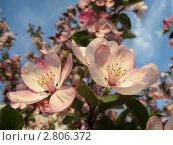 Купить «Яблоня в цвету», фото № 2806372, снято 22 февраля 2019 г. (c) Людмила Банникова / Фотобанк Лори