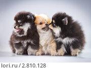 Купить «Три щенка породы померанский шпиц», фото № 2810128, снято 15 июня 2011 г. (c) Сергей Лаврентьев / Фотобанк Лори