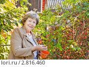 Купить «Женщина собирает шиповник», эксклюзивное фото № 2816460, снято 22 сентября 2011 г. (c) Майя Крученкова / Фотобанк Лори