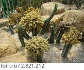 Коллекция из нескольких видов кактусов в тропическом саду Нонг Нуч. Стоковое фото, фотограф Баландина Эльвира Альбертовна / Фотобанк Лори