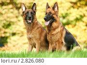 Купить «Две немецкие овчарки на лужайке», фото № 2826080, снято 14 апреля 2018 г. (c) Дмитрий Калиновский / Фотобанк Лори