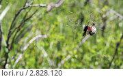 Купить «Паук обматывает паутиной добычу», видеоролик № 2828120, снято 5 августа 2011 г. (c) Андрей Воскресенский / Фотобанк Лори