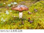 Купить «Большой масленок в лесу», фото № 2830228, снято 16 сентября 2011 г. (c) Алексей Зарубин / Фотобанк Лори
