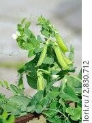 Купить «Стручки зеленого гороха», фото № 2830712, снято 26 сентября 2011 г. (c) Татьяна Кахилл / Фотобанк Лори
