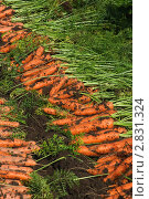 Урожай моркови. Стоковое фото, фотограф Екатерина Жукова / Фотобанк Лори