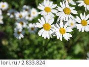 Ромашки. Стоковое фото, фотограф Алексей Сахаров / Фотобанк Лори